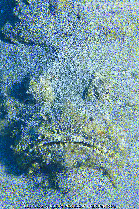 Reef Stonefish {Synanceia verrucosa} face hidden in the sand, Japan, CAMOUFLAGE,FISH,HIDING,JAPAN,MARINE,OSTEICHTHYES,STONEFISH,TEMPERATE,UNDERWATER,VERTEBRATES,VERTICAL,Asia, Nature Production