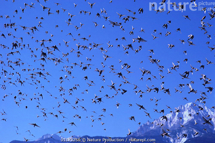 Flock of Rosy-Finches {Leucosticte arctoa} flying, Nagano, Japan, ASIA,BIRDS,FINCHES,FLOCKS,FLYING,JAPAN,LANDSCAPES,MOUNTAINS,SNOW,VERTEBRATES, Nature Production