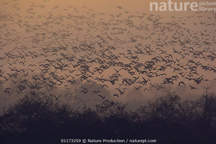 Flock of White-fronted Geese {Anser albifrons}taking flight from a roosting place, Miyagi, Japan, BEHAVIOUR,BIRDS,DAWN,FLOCKS,FLYING,GEESE,GOOSE,GROUPS,JAPAN,SUNRISE,VERTEBRATES,WATERFOWL,Asia,Wildfowl, waterfowl, Nature Production