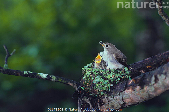 Asian Brown Flycatcher {Muscicapa daurica} adult with chick in nest, Japan, ASIA,BIRDS,CHICKS,FAMILIES,FLYCATCHERS,JAPAN,LICHEN,LICHENS,NESTS,VERTEBRATES,Plants, Nature Production