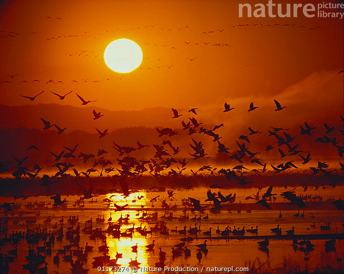 A school of White-fronted Geese {Anser albifrons} taking flight from the roosting place, Miyagi, Japan, ASIA,ATMOSPHERIC,BIRDS,DAWN,FLOCKS,FLYING,GEESE,GROUPS,JAPAN,SUN,SUNRISE,VERTEBRATES,WATERFOWL,WETLANDS,Wildfowl, waterfowl, Nature Production