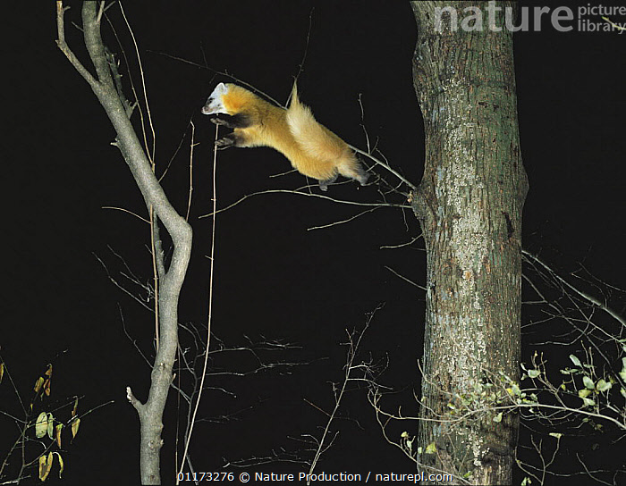 Japanese Marten {Martes melampus} jumping from one tree to another, Tokyo, Japan, ACTION,ASIA,CARNIVORES,JAPAN,LEAPING,MAMMALS,MARTENS,NIGHT,VERTEBRATES,WOODLANDS,Mustelids, Nature Production