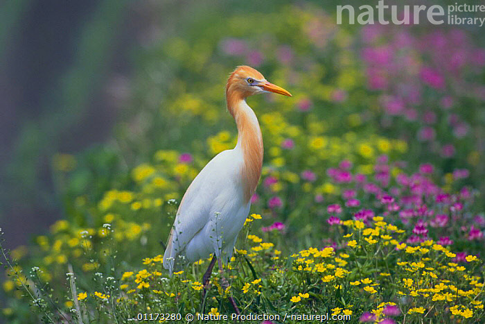 Cattle Egret {Bubulcus ibis} standing in a rice field (summer plumage) Kochi, Japan, ASIA,BIRDS,FLOWERS,HERONS,JAPAN,VERTEBRATES, Nature Production