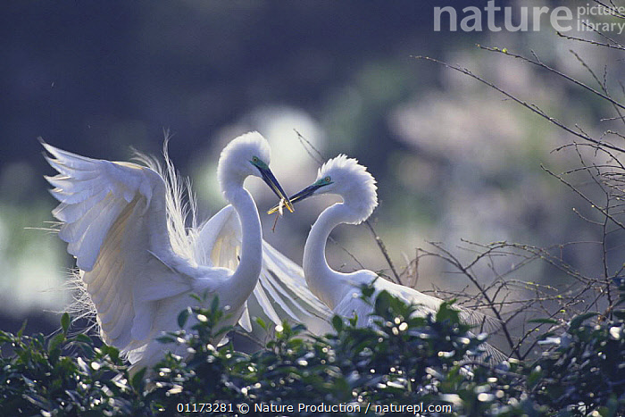 Great Egret {Ardea alba} male (left) passing materials for building a nest to female (right), Kanagawa, Japan, ASIA, BIRDS, egretta alba, great white heron, HERONS, JAPAN, male female pair, nesting material, NESTS, VERTEBRATES, Nature Production