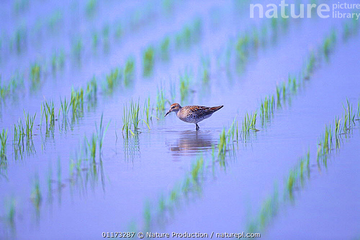 Sharp-tailed Sandpiper {Calidris acuminata} foraging in a rice field in spring, Kochi, Japan, ASIA,BIRDS,CROPS,JAPAN,PADDY,SANDPIPERS,VERTEBRATES,WADERS,WETLANDS, Nature Production