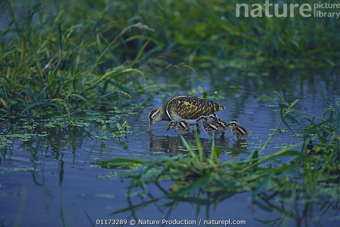 Greater Painted Snipe {Rostratula benghalensis} male and chicks, Kagawa, Japan, ASIA,BABIES,BIRDS,CHICKS,CUTE,FAMILIES,JAPAN,PAINTED SNIPE,VERTEBRATES,WETLANDS, Nature Production