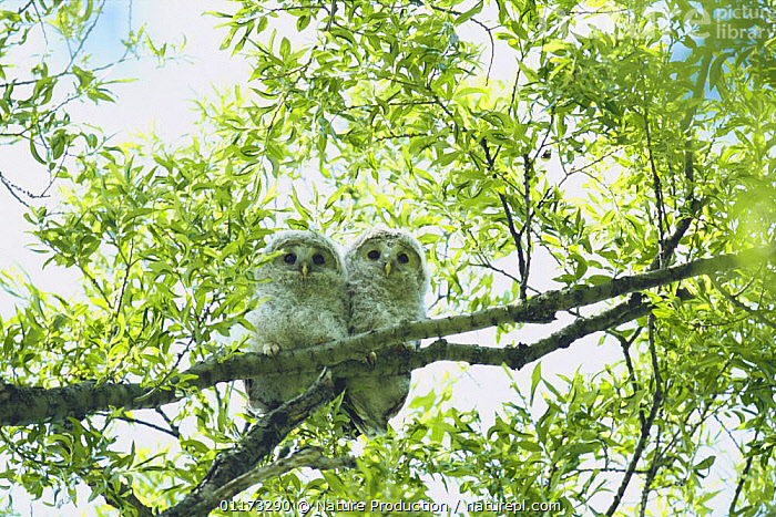 Ural Owl fledglings {Strix uralensis japonica} Hokkaido, Japan, ASIA,BIRDS,BIRDS OF PREY,CHICKS,LOW ANGLE SHOT,JAPAN,OWLS,TWO,VERTEBRATES,Raptor ,low angle, Nature Production