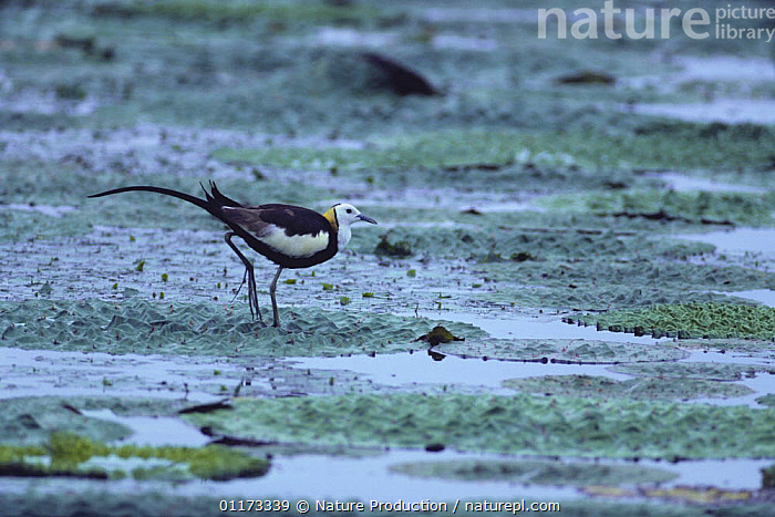 Pheasant-tailed Jacana (summer plumage) {Hydrophasianus chirurgus} walking on leaves in a pond of Giant Water Lilies, Kagawa, Japan, ASIA,BIRDS,FRESHWATER,JACANAS,JAPAN,LEAVES,VERTEBRATES,WADERS, Nature Production