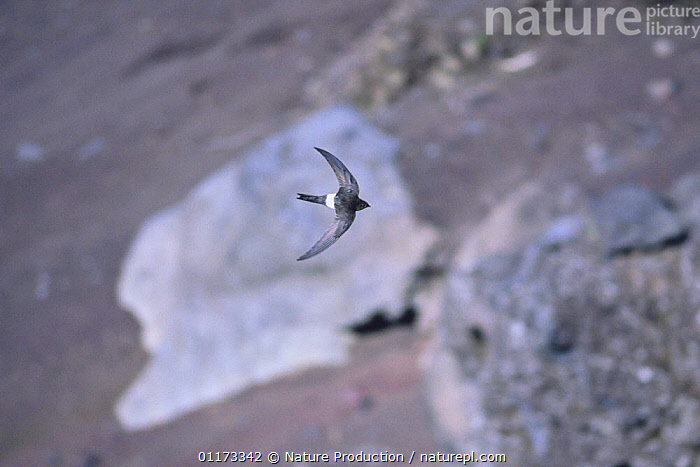 Pacific / Fork-tailed Swift {Apus pacificus} flying, Japan, BIRDS,FLYING,JAPAN,SWIFTS,VERTEBRATES,Asia, Nature Production