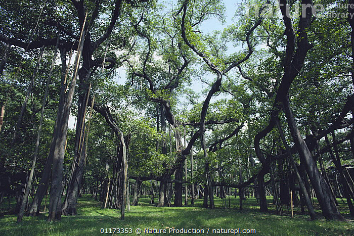 Grove of Indian banyan trees {Ficus benghalensis} India, ASIA, DICOTYLEDONS, india, LANDSCAPES, MORACEAE, PLANTS, Nature Production