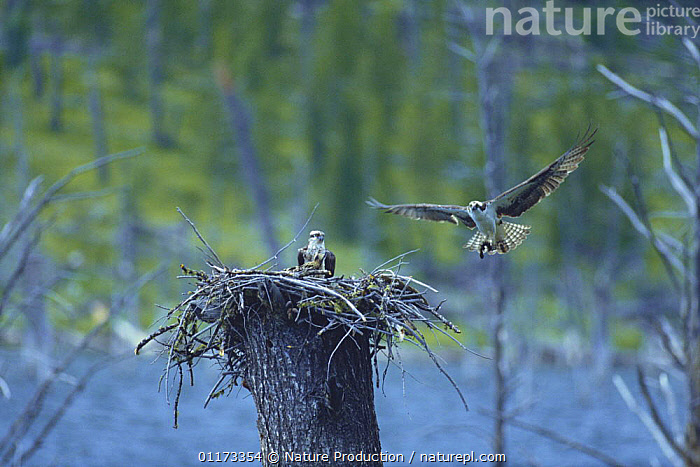 Osprey {Pandion haliaetus} carrying fish to chicks in nest, USA, BIRDS,BIRDS OF PREY,FAMILIES,FLYING,MALE FEMALE PAIR,NESTS,NORTH AMERICA,OSPREYS,USA,VERTEBRATES, Nature Production