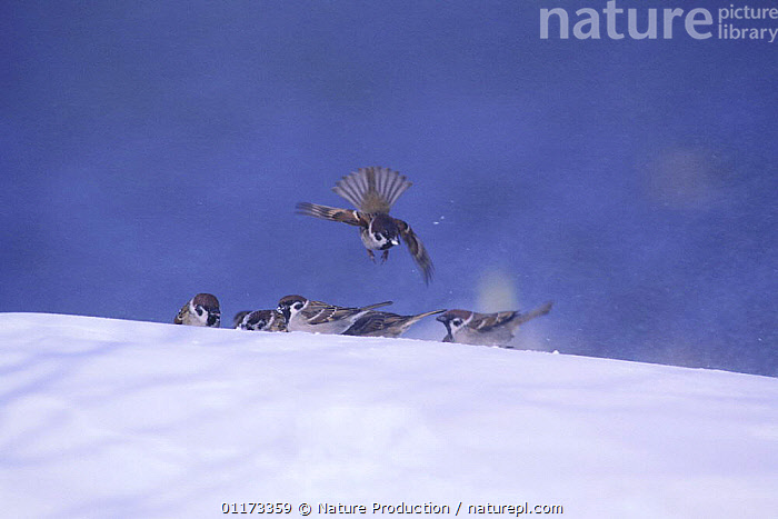 Tree Sparrows {Passer montanus} gathering on snow, Fukushima, Japan, ASIA,BIRDS,FLYING,GROUPS,JAPAN,SNOW,SPARROWS,VERTEBRATES,WINTER, Nature Production