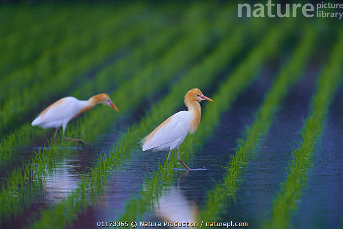 Cattle Egrets {Bubulcus ibis} foraging in a rice field in spring, Japan, ASIA,BIRDS,CROPS,EGRET,HERONS,JAPAN,PADDY,TWO,VERTEBRATES,WADING,WATER, Nature Production