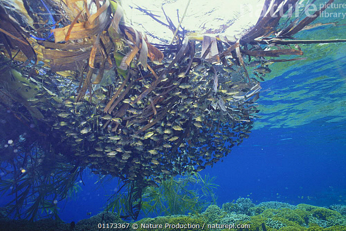 A school of Largescaled therapon {Terapon theraps} juveniles living in drifting seaweed, Indonesia, ALGAE,ASIA,FISH,GROUPS,INDO PACIFIC,MARINE,OSTEICHTHYES,SEAWEEDS,TIGER PERCH,UNDERWATER,VERTEBRATES,Plants, Nature Production
