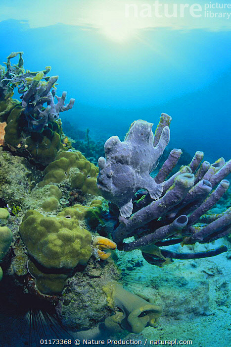 Giant frogfish {Antennarius commerson} camouflaged amongst coral, Malaysia, ANGLERFISH,CAMOUFLAGE,CORAL REEFS,FISH,INDO PACIFIC,MARINE,OSTEICHTHYES,PURPLE,VERTEBRATES,VERTICAL, Nature Production