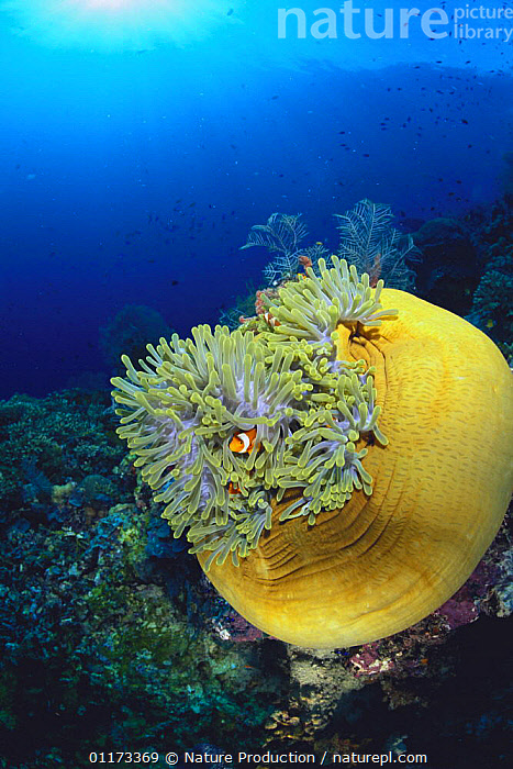 Clown Anemonefish {Amphiprion ocellaris} living amongst tentacles of Sea Anemone, Malaysia, ACTINARIA,DAMSELFISH,FISH,INDO PACIFIC,MARINE,OSTEICHTHYES,SEA ANEMONE,TROPICAL,UNDERWATER,VERTEBRATES,VERTICAL, Nature Production
