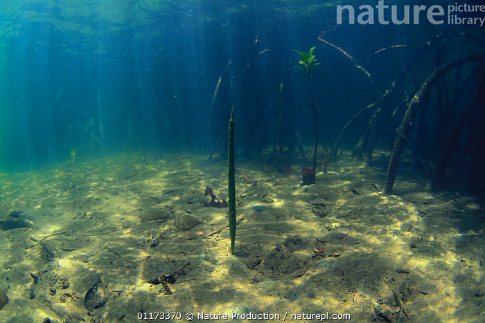 Underwater view of Mangrove with fruit fallen in water, Iriomote, Okinawa, Japan, ASIA,COASTS,JAPAN,MANGROVES,MARINE,ROOTS,SHOOTS,UNDERWATER, Nature Production