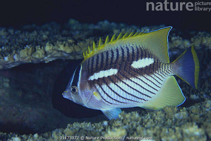 Chevroned Butterflyfish {Chaetodon trifascialis} in night color, Amami, Kagoshima, Japan, ASIA,BUTTERFLYFISH,FISH,JAPAN,MARINE,OSTEICHTHYES,PROFILE,TROPICAL,UNDERWATER,VERTEBRATES, Nature Production