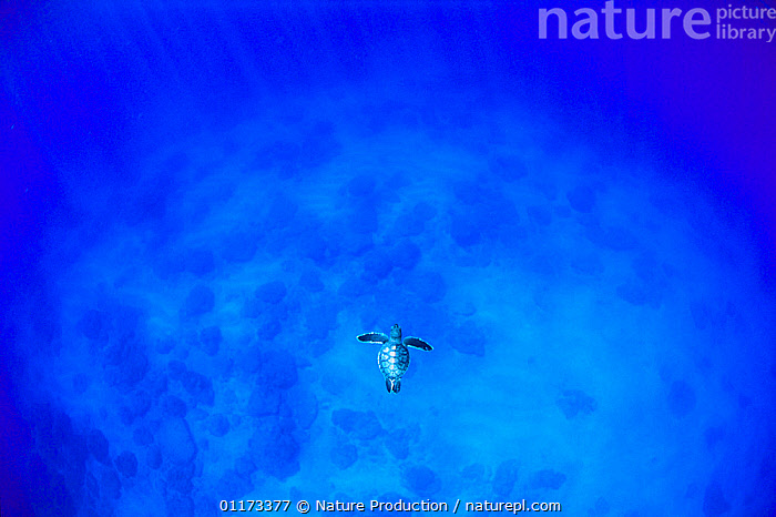 Green Turtle {Chelonia mydas mydas} juvenile swimming, Ogasawara, Tokyo, Japan, ALONE,ASIA,BABIES,BRAVE,CHELONIA,ENDANGERED,insignificance,JAPAN,PACIFIC,possibility,REPTILES,SEA TURTLES,solitary,TURTLES,UNKNOWN, Nature Production