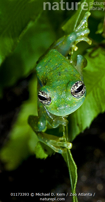 White spotted glass frog {Cochranella albomaculata} captive, occurs Colombia, Costa Rica, Ecuador, Panama. Please credit Michael Kern / Zoo Atlanta., AMPHIBIANS, CENTRAL-AMERICA, FROGS, VERTEBRATES, VERTICAL,Anura, Michael D. Kern / Zoo Atlanta