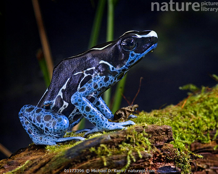 Dyeing poison arrow dart frog {Dendrobates tinctorius} captive, South America; 'poison' used by some indigenous peoples on young parrots' skin to discolour growing feathers, AMPHIBIANS,ANURA,BLUE,FROG,FROGS,POISON ARROW FROGS,PROFILE,VERTEBRATES, Michael D. Kern