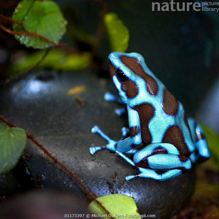 Blue and black poison dart frog / Green poison arrow frog {Dendrobates auratus} captive