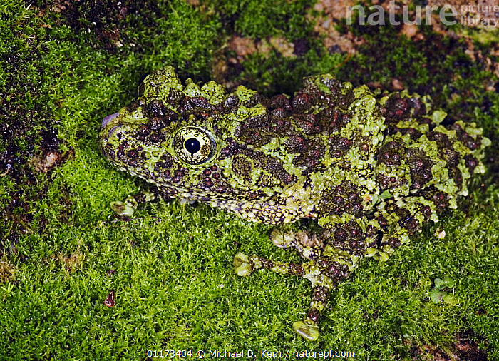 Vietnamese mossy frog {Theloderma corticale} captive, occurs Vietnam, AMPHIBIANS,CAMOUFLAGE,FROGS,TREE FROGS,VERTEBRATES,Anura, Michael D. Kern