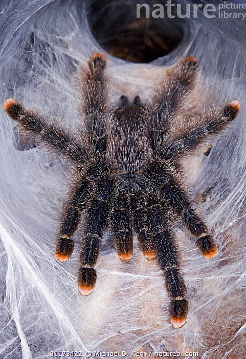 Pink toed tarantula {Avicularia avicularia} captive,