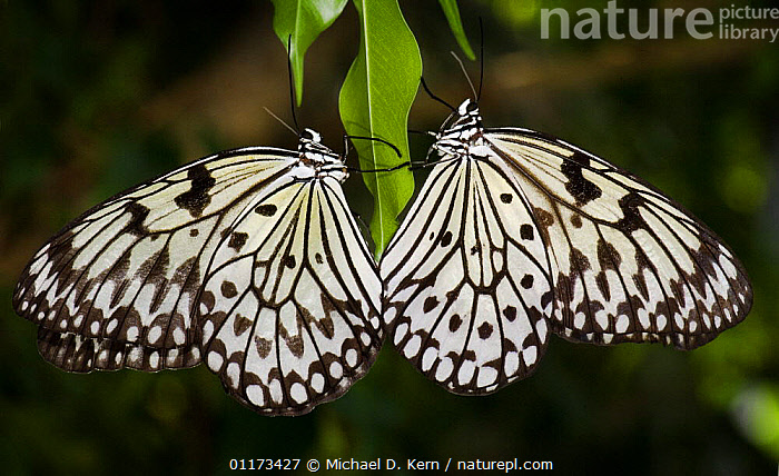 Two Tree nymphs / Paper butterflies {Idea leuconoe} captive, occurs SE Asia, ARTHROPODS, BUTTERFLIES, butterfly, Cayman, INSECTS, INVERTEBRATES, LEPIDOPTERA, PROFILE, two, Michael D. Kern