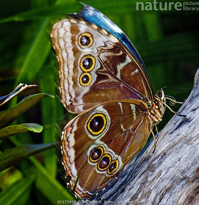 Blue morpho / Common morpho butterfly {Morhpo pelides} captive, occurs Caribbean, Central and South America, ARTHROPODS,BUTTERFLIES,INSECTS,INVERTEBRATES,LEPIDOPTERA,PROFILE, Michael D. Kern