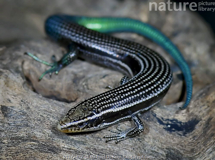 Canary island skink {Chalcides sexlineata} captive, Canary Islands, CANARIES,INVERTEBRATES,LIZARD,LIZARDS,REPTILES,SKINK,SKINKS, Skinks, Skinks, Michael D. Kern