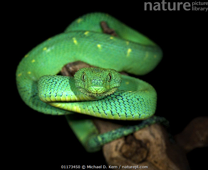 Green bush viper {Atheris chloroechis} captive, 