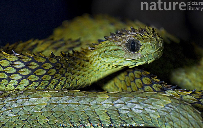Hairy bush viper snake {Atheris hispidus} captive