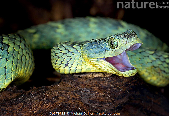 Variable / African bush viper snake {Atheris squamiger} with mouth open, captive, equatorial Africa, AFRICA,MOUTHS,REPTILES,SNAKES,VENOMOUS,VERTEBRATES,VIPERS, Vipers, Vipers, Michael D. Kern