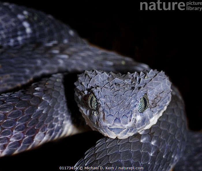 Variable / African bush viper snake{Atheris squamiger} captive, equatorial Africa, AFRICA,REPTILES,SNAKES,VENOMOUS,VERTEBRATES,VIPERS, Vipers, Vipers, Michael D. Kern