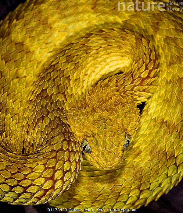 Variable / African bush viper snake {Atheris squamiger} captive, occurs equatorial Africa, REPTILES,SCALES,SKIN,SNAKES,VENOMOUS,VERTEBRATES,VIPERS,YELLOW, Vipers, Vipers, Vipers, Vipers, Vipers,Catalogue1, Michael D. Kern