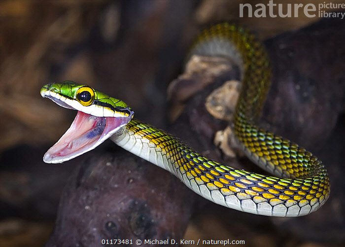 Amazon parrot snake {Leptophis ahaetulla} with mouth open, captive, occurs South America, Trinidad and Tobago, COLUBRIDS,MOUTHS,REPTILES,SNAKES,VERTEBRATES, Michael D. Kern