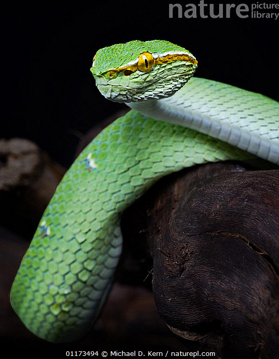 Waglers Temple viper snake {Tropidolaemus wagleri} captive, occurs Philippines, Malaysia and Indonesia, MALES,PORTRAITS,REPTILES,SNAKES,VENOMOUS,VERTEBRATES,VERTICAL,VIPERS, Michael D. Kern