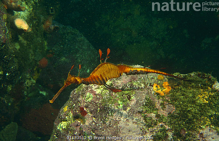 Weedy seadragon {Phyllopteryx taeniolatus} male carrying eggs, Jervis Bay, Australia, FISH,MALES,MARINE,OSTEICHTHYES,PARENTAL BEHAVIOUR,SEAHORSES,TROPICAL,UNDERWATER,VERTEBRATES, Brent Hedges