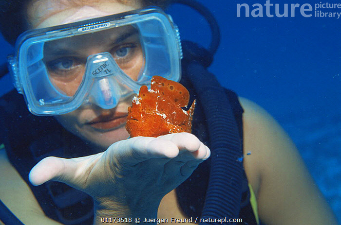 Diver watching Frogfish {Antennarius sp} on her  hand, Indo Pacific, ANGLERFISH,DIVING,FISH,indo pacific,MARINE,OSTEICHTHYES,PEOPLE,snorkeling,TROPICAL,UNDERWATER,VERTEBRATES, Jurgen Freund