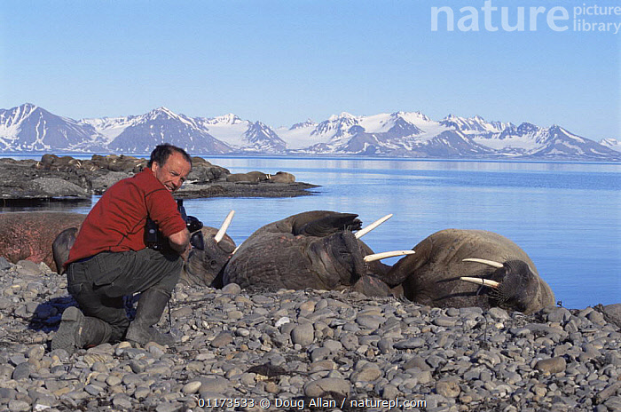 Cameraman Doug Allan filming Walrus for BBC NHU 'The Blue Planet'. Svalbard, Norway, 1997, ARCTIC,CAMERA,COASTS,EUROPE,FILMING IN WILD,HAULOUT,PEOPLE,SUMMER,Scandinavia, Scandinavia, Doug Allan