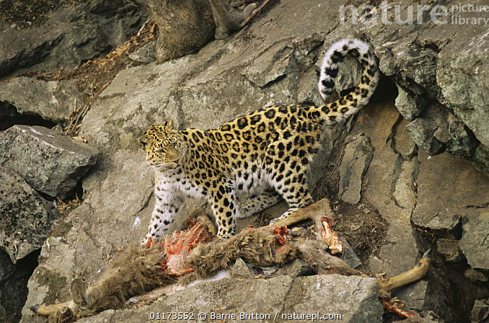 Wild Amur leopard {Panthera pardus orientalis} feeding on wild goat prey, Ussuriland, Far East Russia, 2004, ASIA,BEHAVIOUR,BIG CATS,CARNIVORES,ENDANGERED,LEOPARDS,MAMMALS,PLANET EARTH   FORESTS,RUSSIA,VERTEBRATES, Barrie Britton