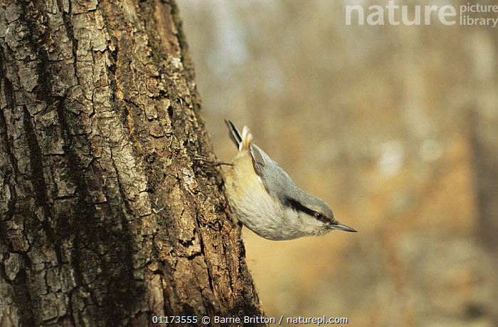 Eurasian nuthatch {Sitta europaea} Ussuriland, Far East Russia, 2004, ASIA,BIRDS,NUTHATCHES,PLANET EARTH   FORESTS,RUSSIA,TRUNKS,VERTEBRATES,WOODLANDS, Barrie Britton