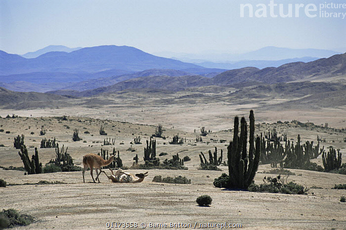 Guanaco {Lama guanicoe} and Cacti on the Atacama Desert, Chile, c 2004, ARTIODACTYLA,BEHAVIOUR,CACTUS,CAMELIDS,CHILE,DESERTS,LANDSCAPES,LLAMAS,MAMMALS,PLANET EARTH   DESERTS,ROLLING,SOUTH AMERICA,VERTEBRATES, Barrie Britton