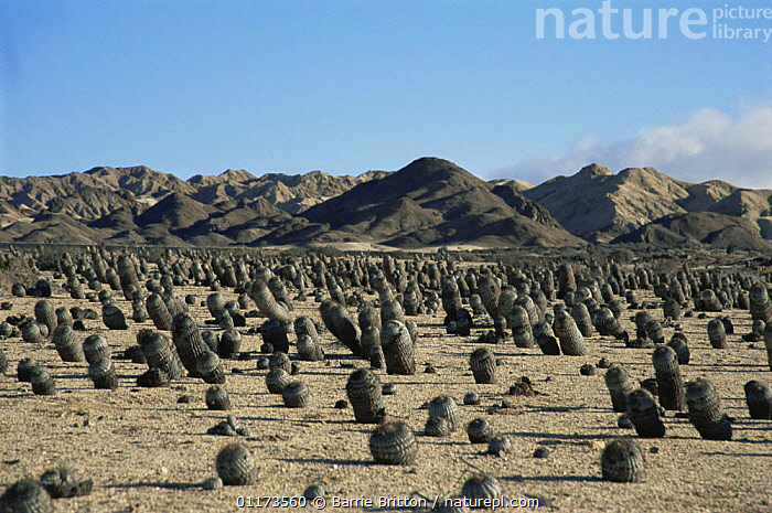 Cacti on the Atacama Desert, Chile, c 2004, CACTUS,CHILE,DESERTS,LANDSCAPES,PLANET EARTH   DESERTS,PLANTS,SOUTH AMERICA,SOUTH-AMERICA, Barrie Britton