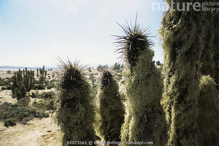 Fog dew and lichen on Cactus spines, Atacama Desert, Chile, c 2004, CACTUS,CHILE,DESERTS,INTERESTING,LANDSCAPES,LICHENS,PLANET EARTH   DESERTS,PLANTS,SOUTH AMERICA,WATER,SOUTH-AMERICA, Barrie Britton