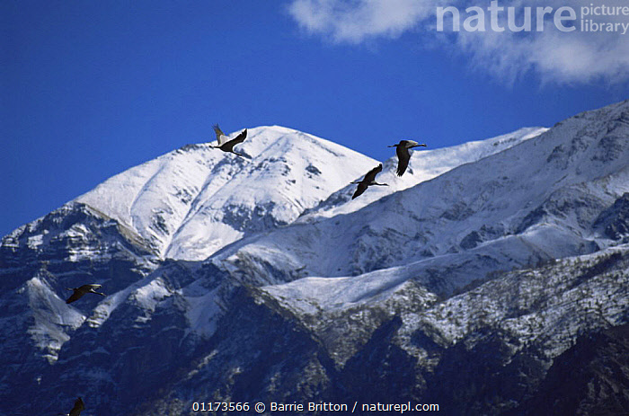 Demoiselle cranes {Anthropoides virgo} on migration flying over the Himalayas, Nepal, c 2004, ASIA,BIRDS,CRANE,CRANES,LANDSCAPES,MOUNTAINS,NEPAL,PLANET EARTH   MOUNTAINS,SNOW,VERTEBRATES, Barrie Britton