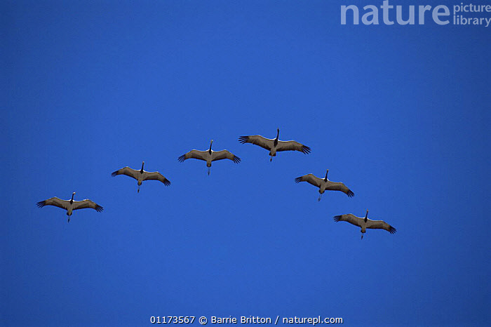 Demoiselle cranes {Anthropoides virgo} on migration flying over the Himalayas, Nepal, c 2004, ASIA,BIRDS,CRANE,CRANES,FORMATION,NEPAL,PLANET EARTH   MOUNTAINS,VERTEBRATES, Barrie Britton