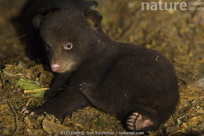 Black Bear (Ursus americanus) 7 week old cub (brown color phase) in den. Captive, BABIES,BEARS,CARNIVORES,CUTE,MAMMALS,NORTH AMERICA,VERTEBRATES, Suzi Eszterhas