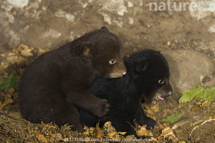 Black Bear (Ursus americanus)  7 weekcubs playing in den, One cub shows brown color phase while the other shows black color phase. Captive, BABIES,BEARS,CARNIVORES,MAMMALS,NORTH AMERICA,VERTEBRATES, Suzi Eszterhas